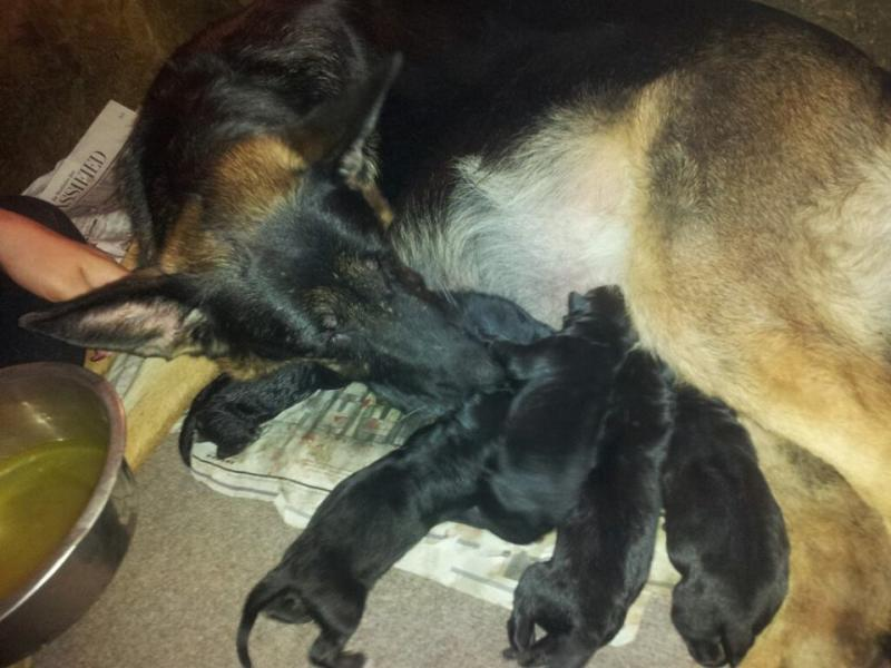 Mommy resting in between puppies