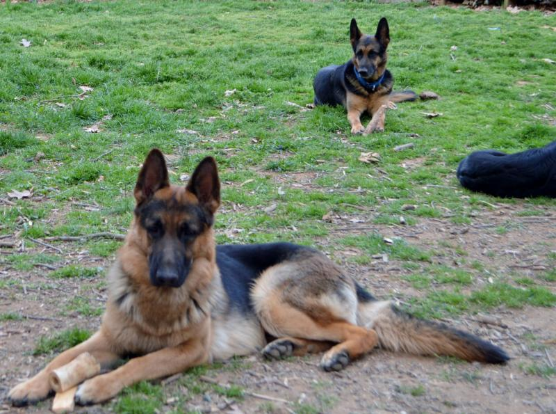 Ace the father...Sheeba in the back ground is the mother of Nina
