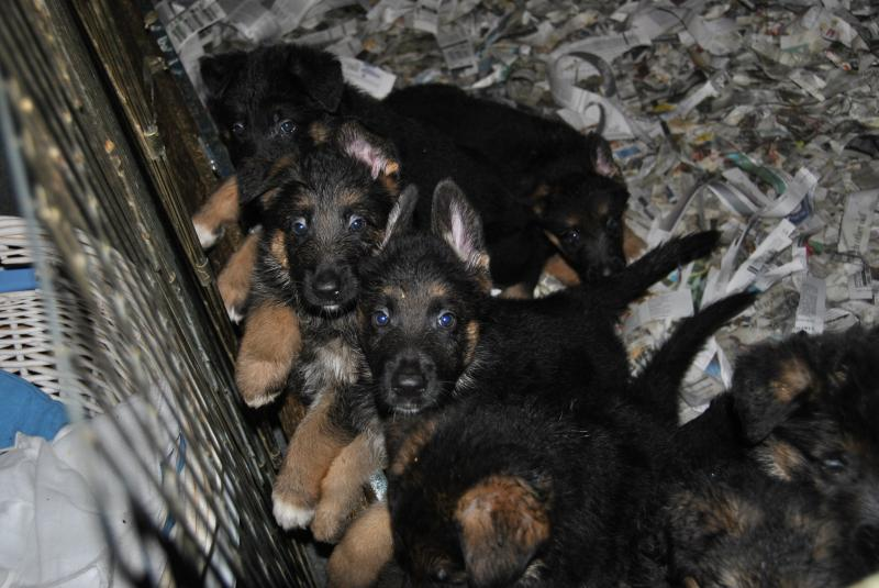 "Puppies are saying ""Look mom, my ears are up"""