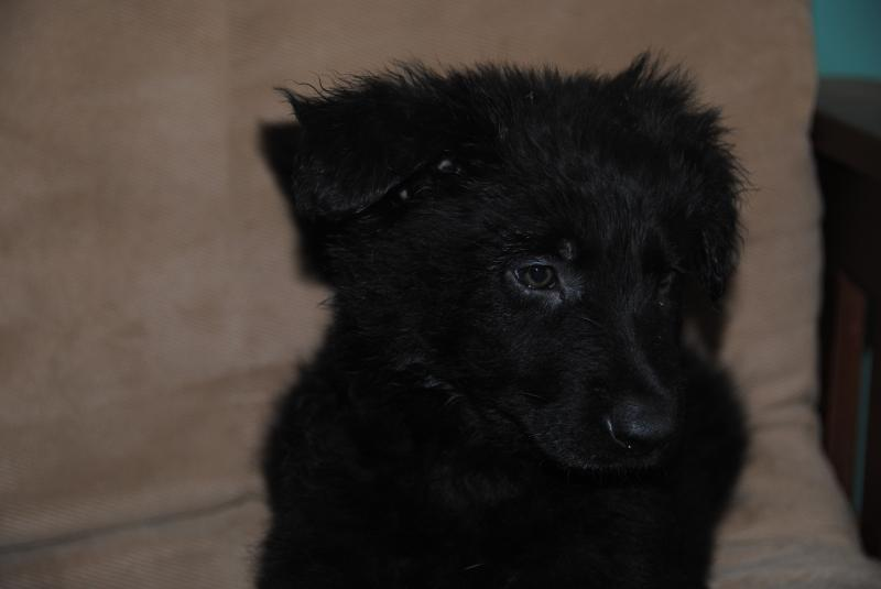 This puppy will look very much like his father Kohl
