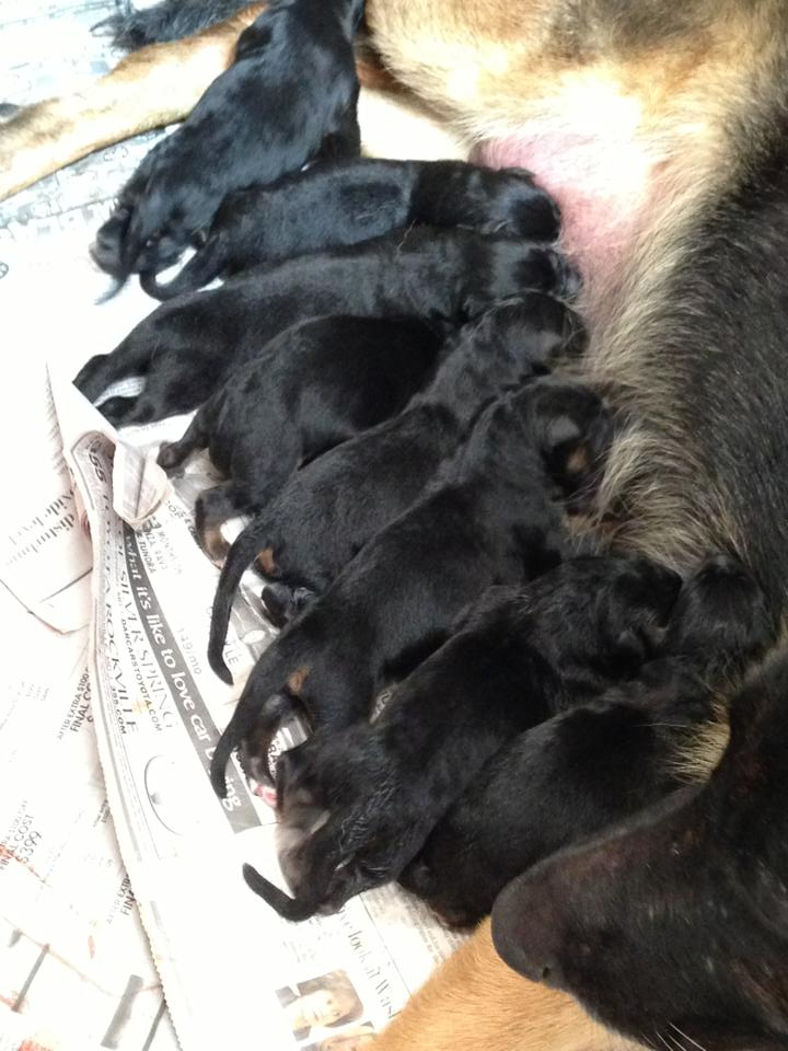 All puppies nursing, just beautiful
