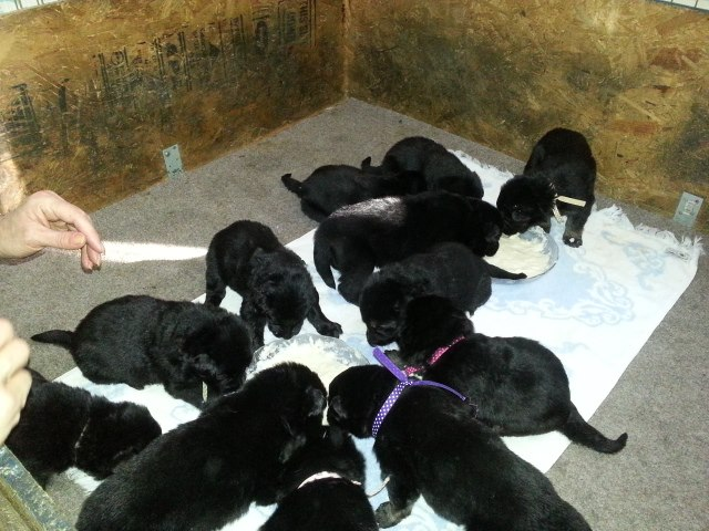 Puppies are eating on their own