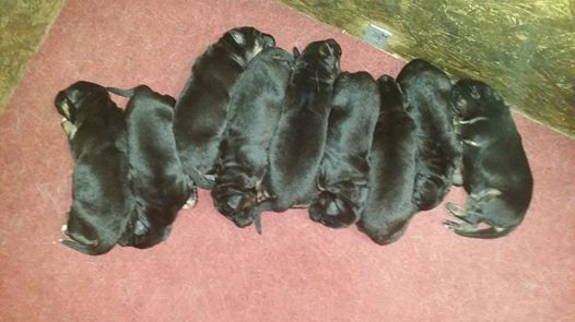 They are all over 2 pounds at 10 days old
