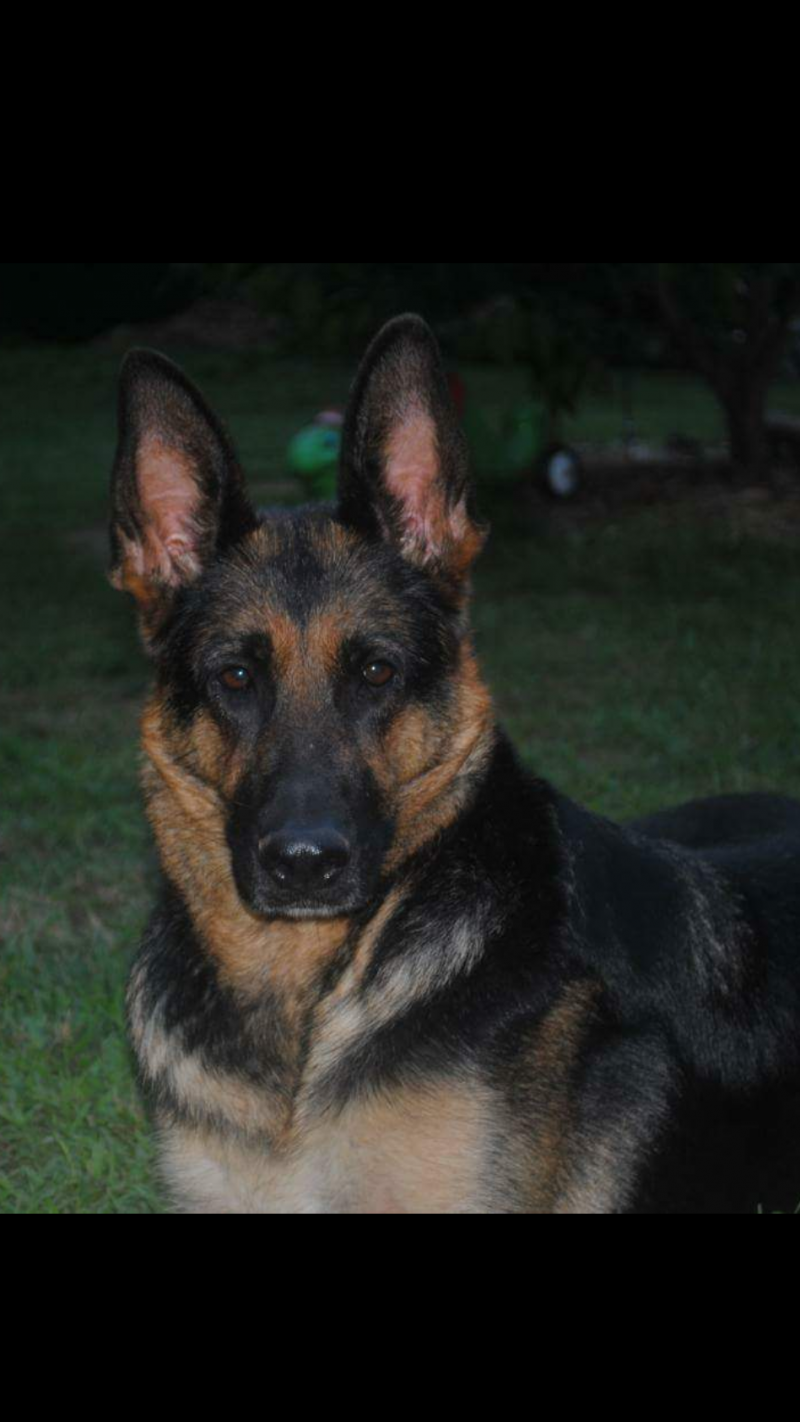 Sheeba the original straight back German Shepherd