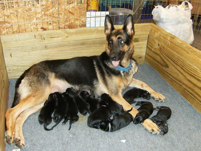 Sheeba with her second litter